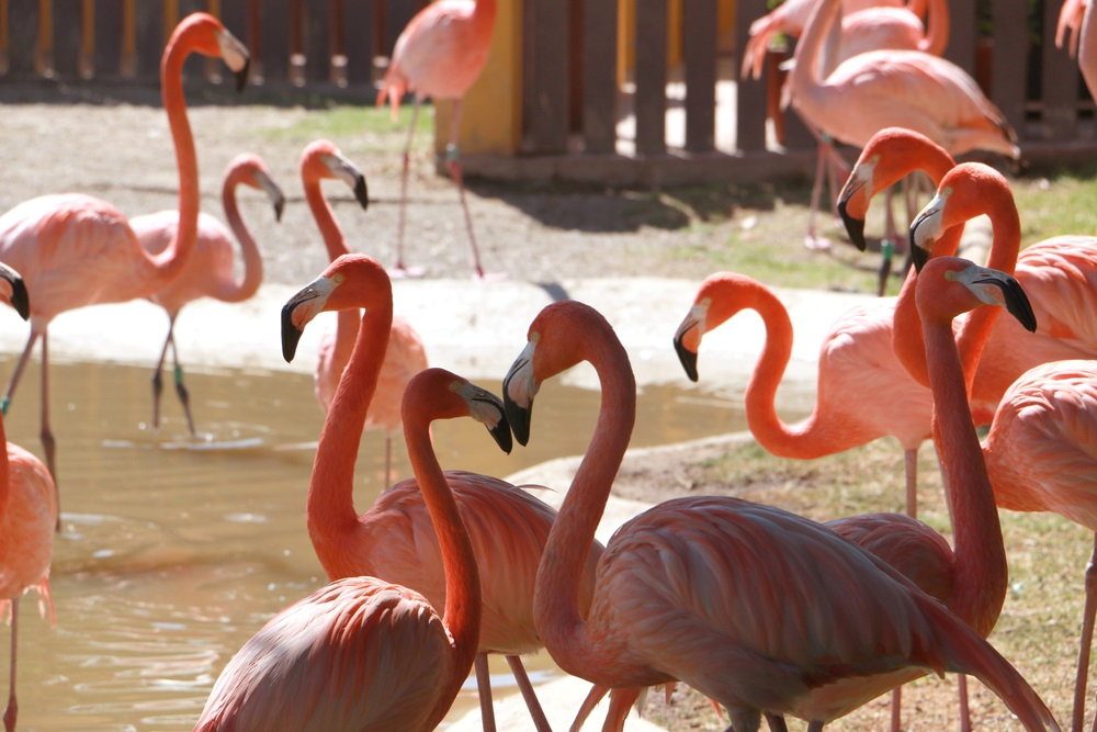 Foto van roze flamingo's in Fuengirola Bioparc. Fuengirola, Spanje.
