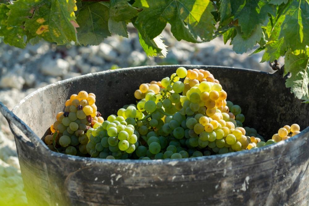 Nieuwe oogst van rijpe witte druiventeelt in wijngaard in Andalusië, Spanje, zoete pedro ximenes of muscat, of palominodruif, gebruikt voor de productie van jerez, sherry zoete en droge wijnen.